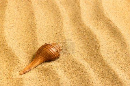 海贝壳躺在纯净的金色沙滩上。宏。副本空间