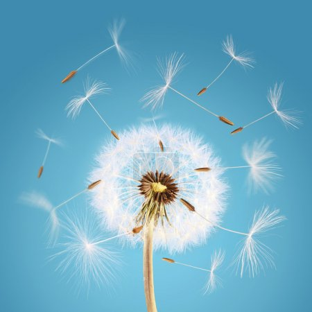 Dandelion seeds flying away with the wind