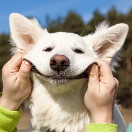 Swiss Shepherd dog smiles